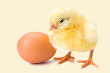 chick and organic egg